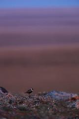 American Golden Plover | amerikansk tundrapipare | Pluvialis dominica