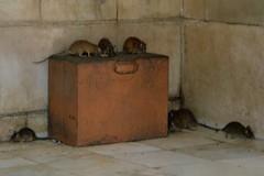 Templo de las Ratas, Karni Mata, India