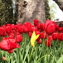 Be different #topkapi #estambul #turquia #tulipanes #flowers