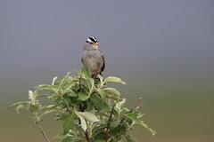 White-crowned Sparrow | vitkronad sparv | Zonotrichia leucophrys