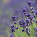 """Lavender • <a style=""""font-size:0.8em;"""" href=""""http://www.flickr.com/photos/15533594@N00/28429262356/"""" target=""""_blank"""">View on Flickr</a>"""