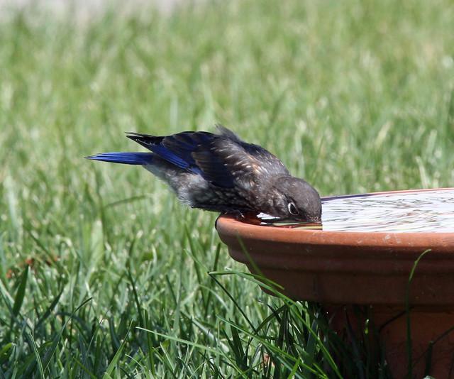 Baby bluebird getting a drink
