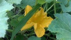 delicata squash blossom