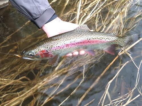 Wild McKenzie River Rainbow Trout