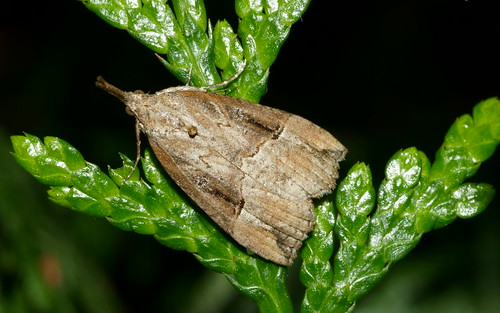 Buttoned Snout (Hypena rostralis)