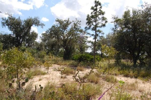 natural florida landscape pine