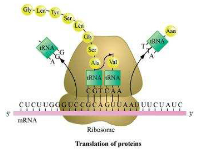 translation of protein Molecular Basis of Inheritance