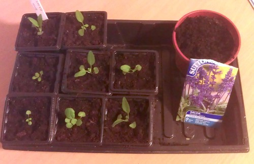 Pricking out the Salvia 'Farinacea Victoria'