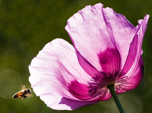 Bee and Poppy 1