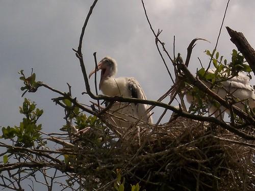 wood stork baby 2012