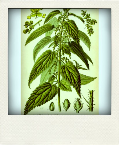 Nettle illustration