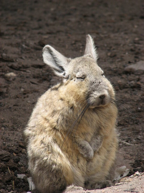 Viscacha  Flickr  Photo Sharing