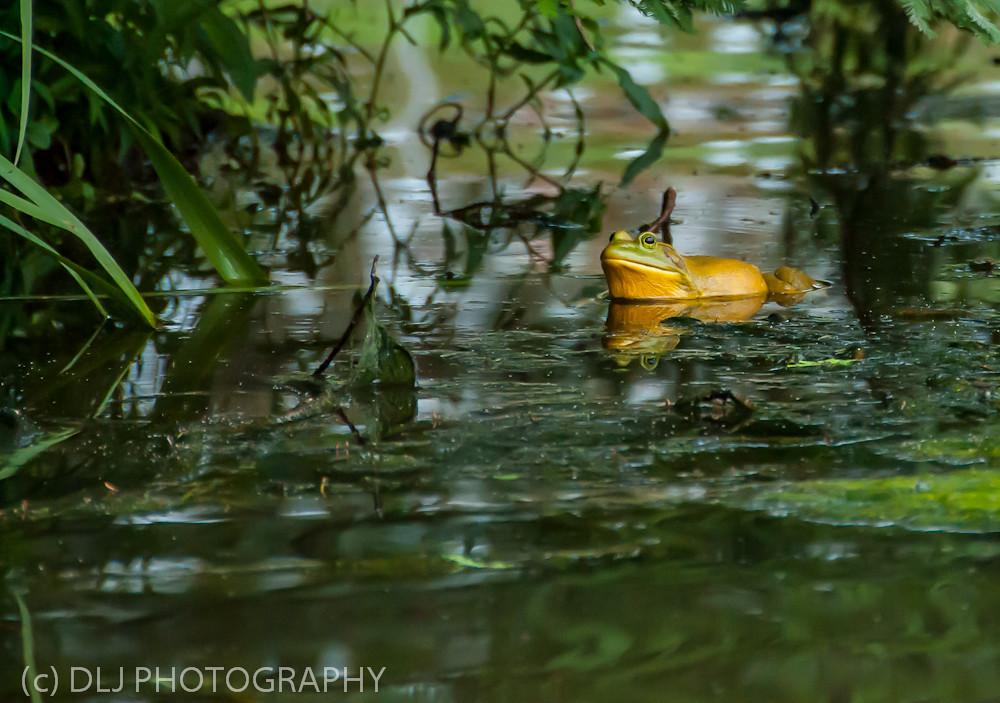 Bullfrog at Longwood Gardens