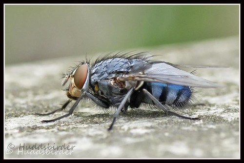 Fly (Calliphora vomitoria)