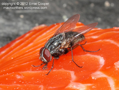 flesh fly Sarcophagidae  © Ernie Cooper 2012 sm for post
