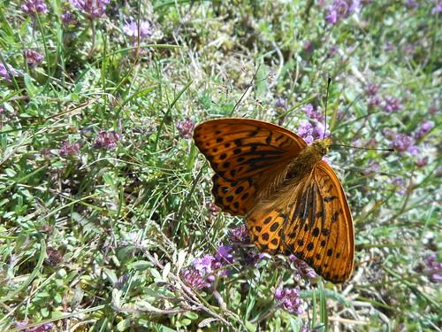Fjäril, en av väldigt många