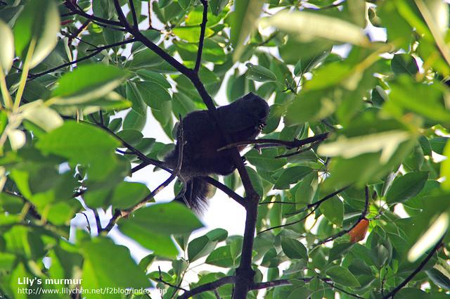 尼拍到的松鼠,正在樹上大快朵頤呢。因為逆光看不清楚,所以稍微用軟體處理了一下。