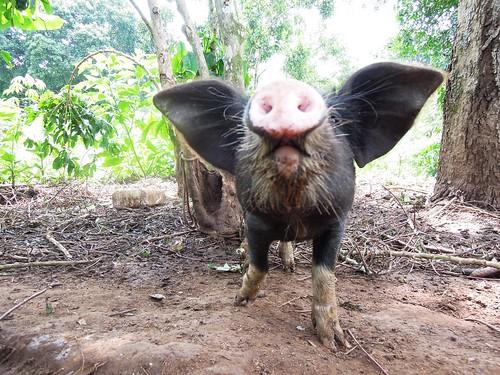 Curious pig in Uganda raised for sale