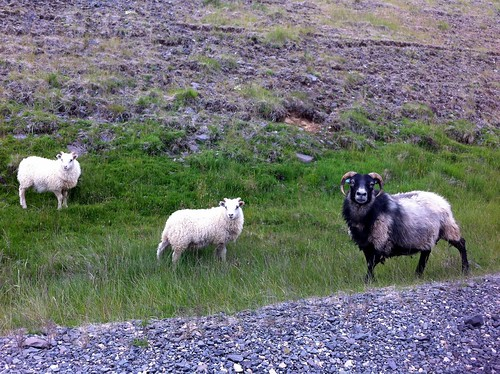 Icelandic Ram and Sheep