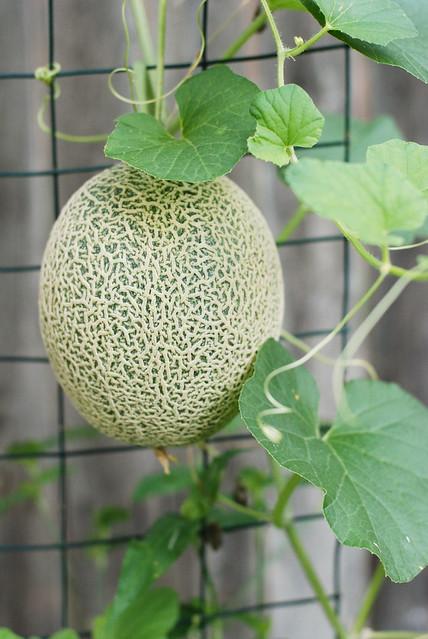 homegrown cantaloupe