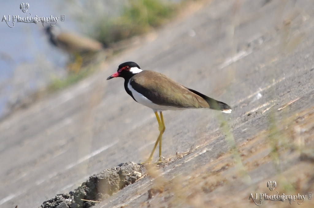 Red-wattled Lapwing At Flickr by Ajay Singh Kharayat