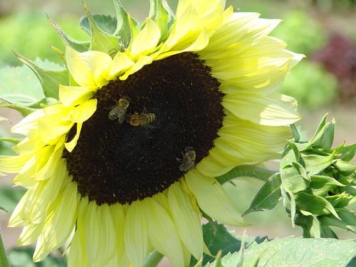 sunflowerbees