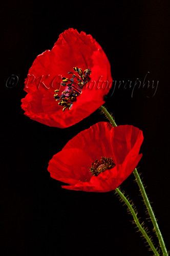 Red Poppies   ( Forever...) by PKG Photography