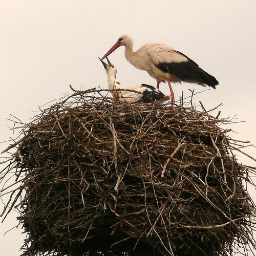 stork-breakfast