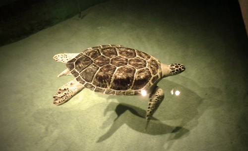 One-armed turtle