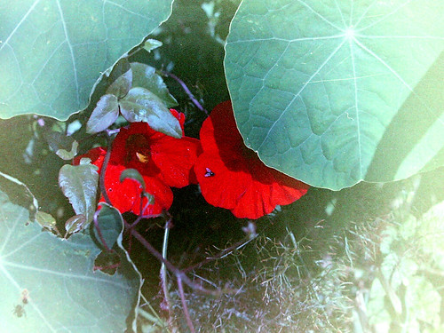 Fly Spider Nasturtium by 35mm_photographs