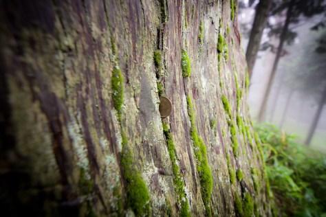 #62 The Giant Cryptomeria of Takesan Houkine Shrine