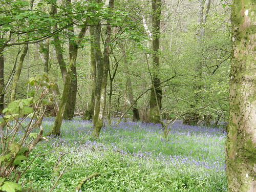 Bluebells in Ellers