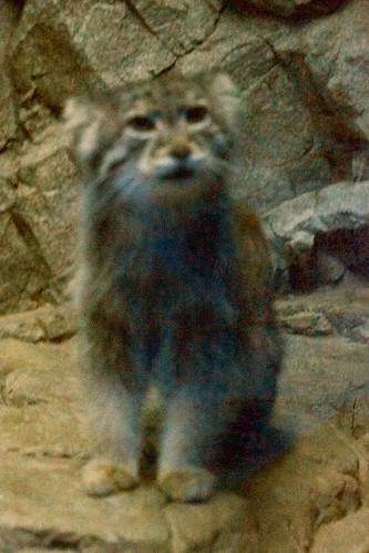 Pallas Cat Up Close