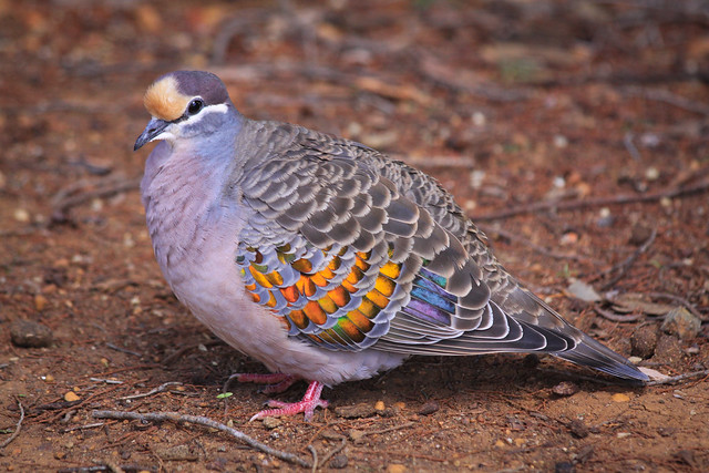 Bronzewing pigeon  (Phaps calcoptera)