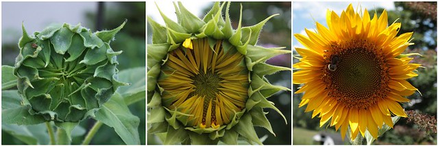 mosaic other sunflower