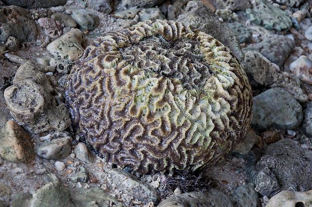 Brain-like Coral