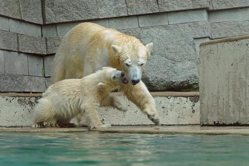 Eisbären Vilma und Anori im Zoo Wuppertal