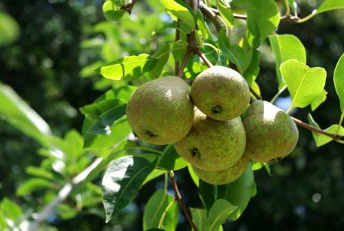backyard pears