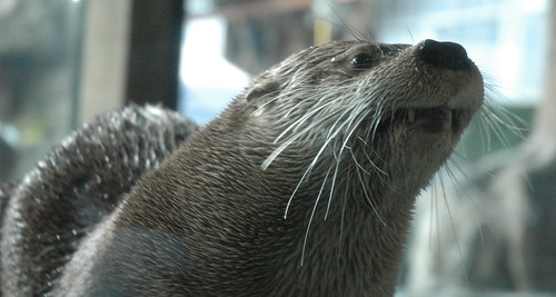 Closeup of a whiskery river otter, shot slightly from below. The otter's teeth are bared and prominent.