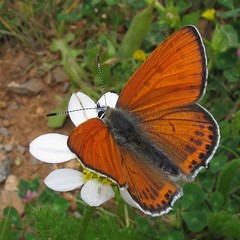 Lesser Fiery Copper - Lycaena thersamon
