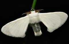 Silk Moth (Bombycidae)