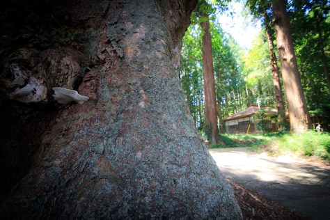 #67 The Giant Zelkova of Arakashi Shrine