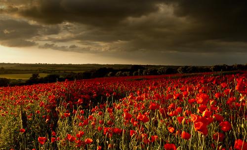 The Harringworth Poppies