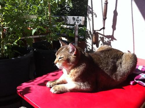 Quintus au balcon sur fond de tomates