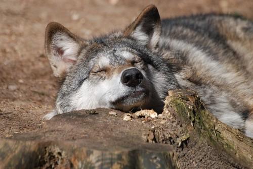 Wolf im Wolfs- und Bärenwald des Zoos in der Wingst