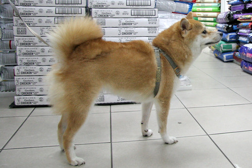 4 August 2012 Shiba in a pet store