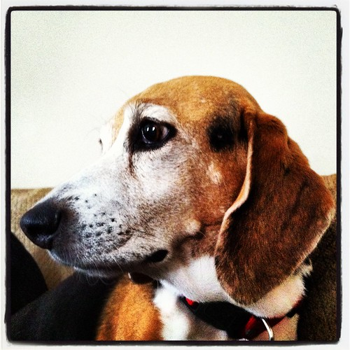 143/366 THE Beagle by AWJ-photography