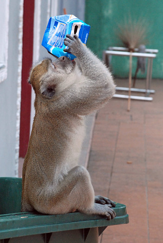 Monkey drinking from carton
