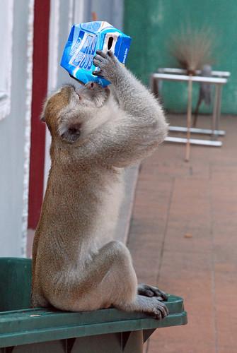 Monkey drinking from carton