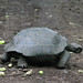 Slow - Tortoise crossing